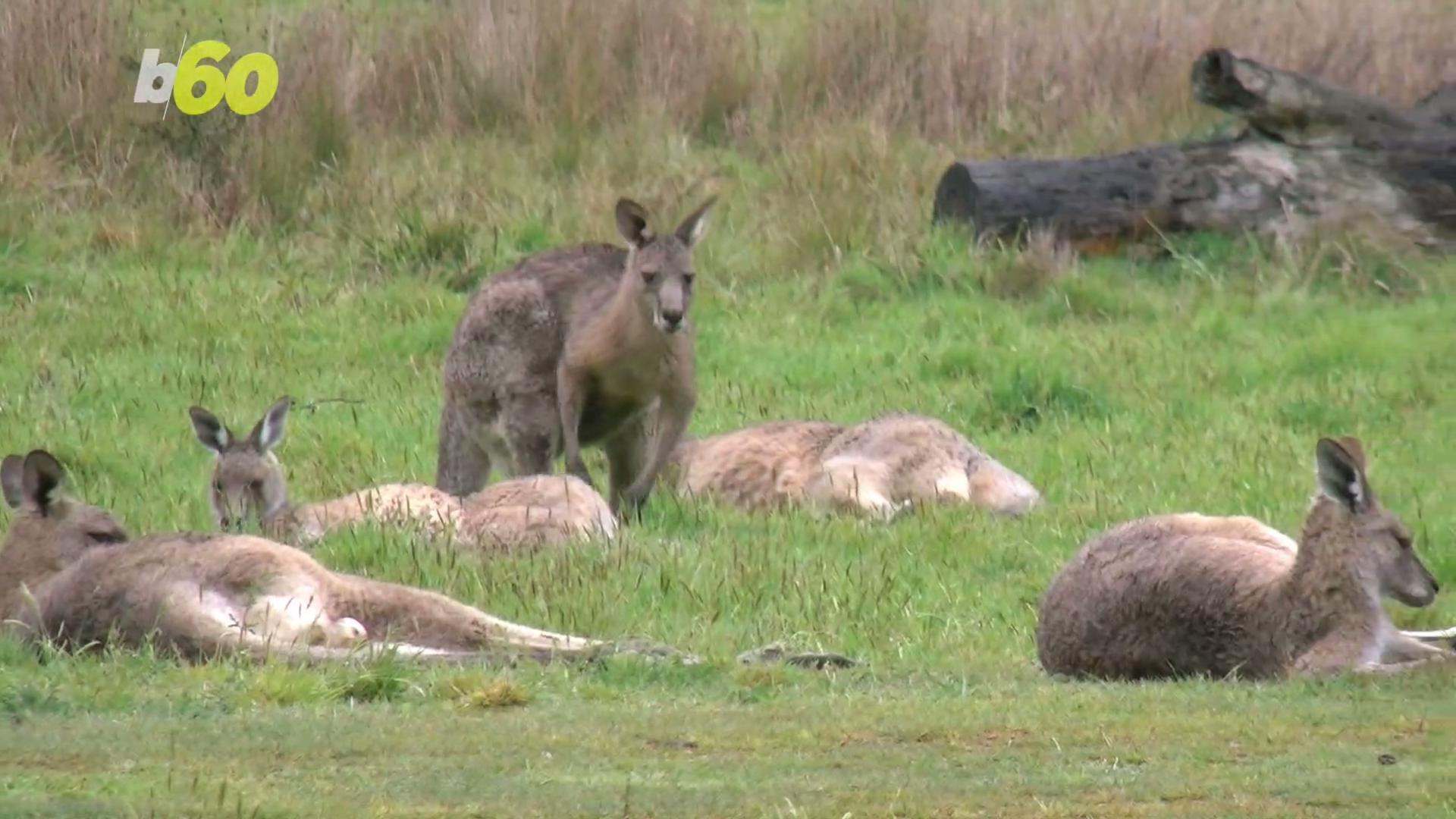 Mating Kangaroos Get Busy Blocking Traffic on Busy Street
