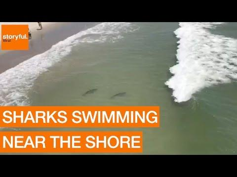 Multiple Sharks Swim Close to Myrtle Beach Shore