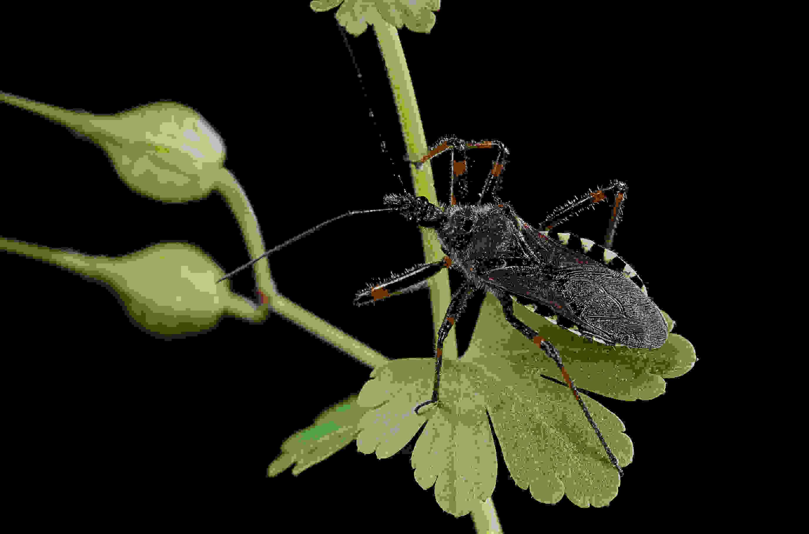 Keep your lips away from deadly 'kissing bugs,' study says
