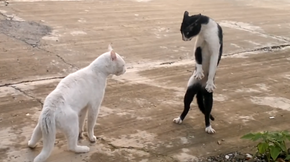 Cobra Cat Fight