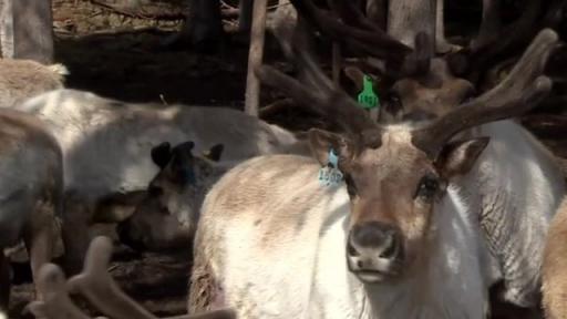 Reindeer rump steak anyone?