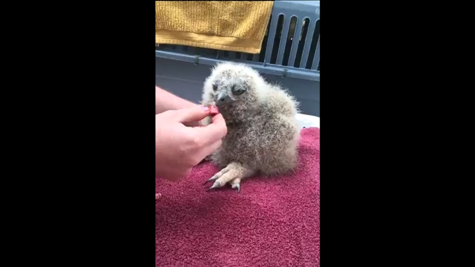 Fluffball feeding time: 17-day-old owlet in Denver is fed live on facebook