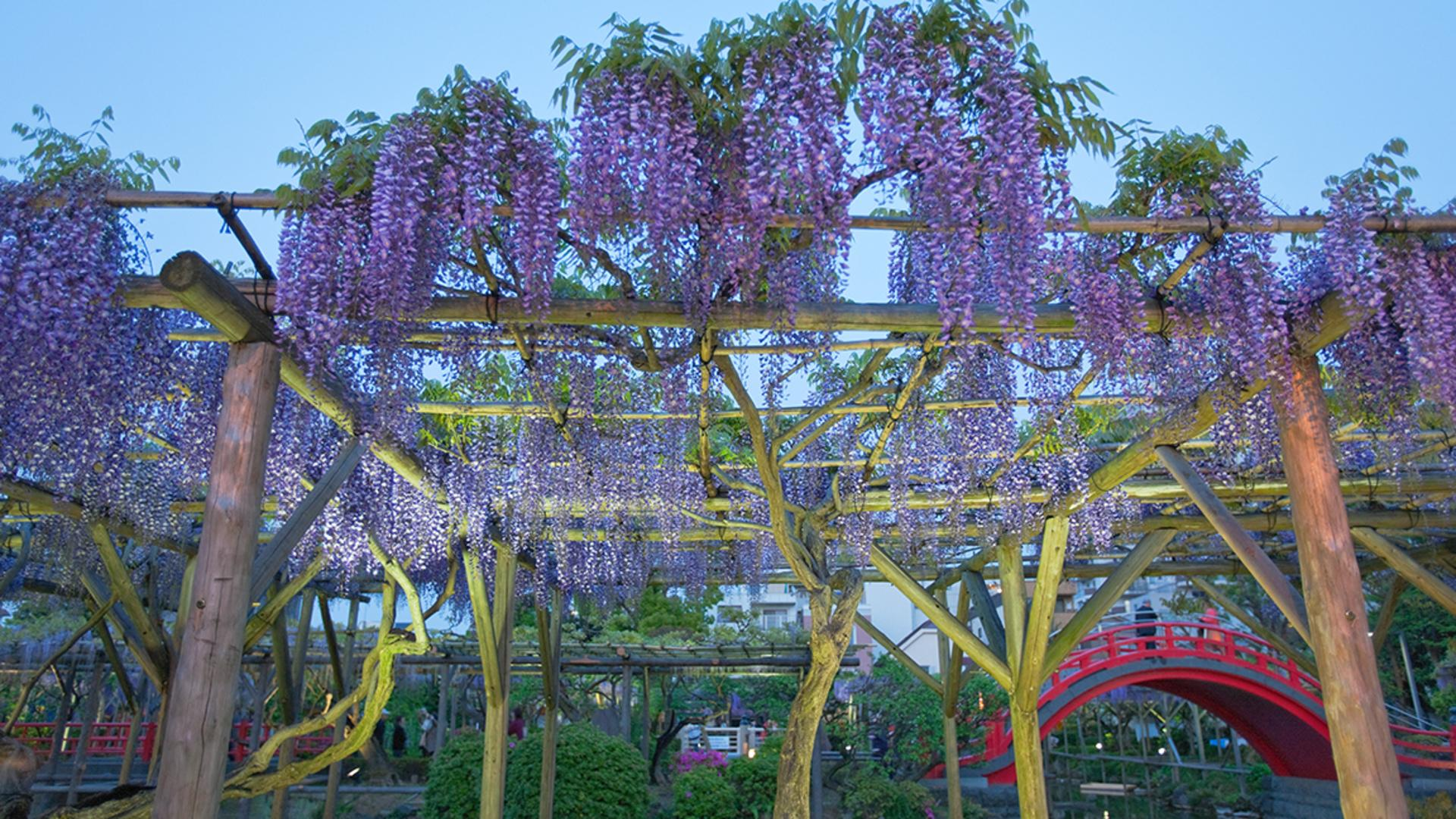 The Wisteria Flower Tunnel in Japan Is the Most Magical Place Ever