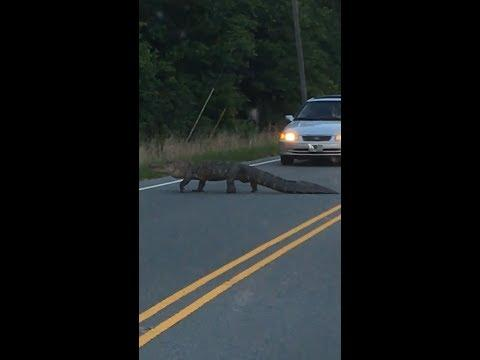 Why Did the Alligator Cross the Road? To Disrupt Traffic