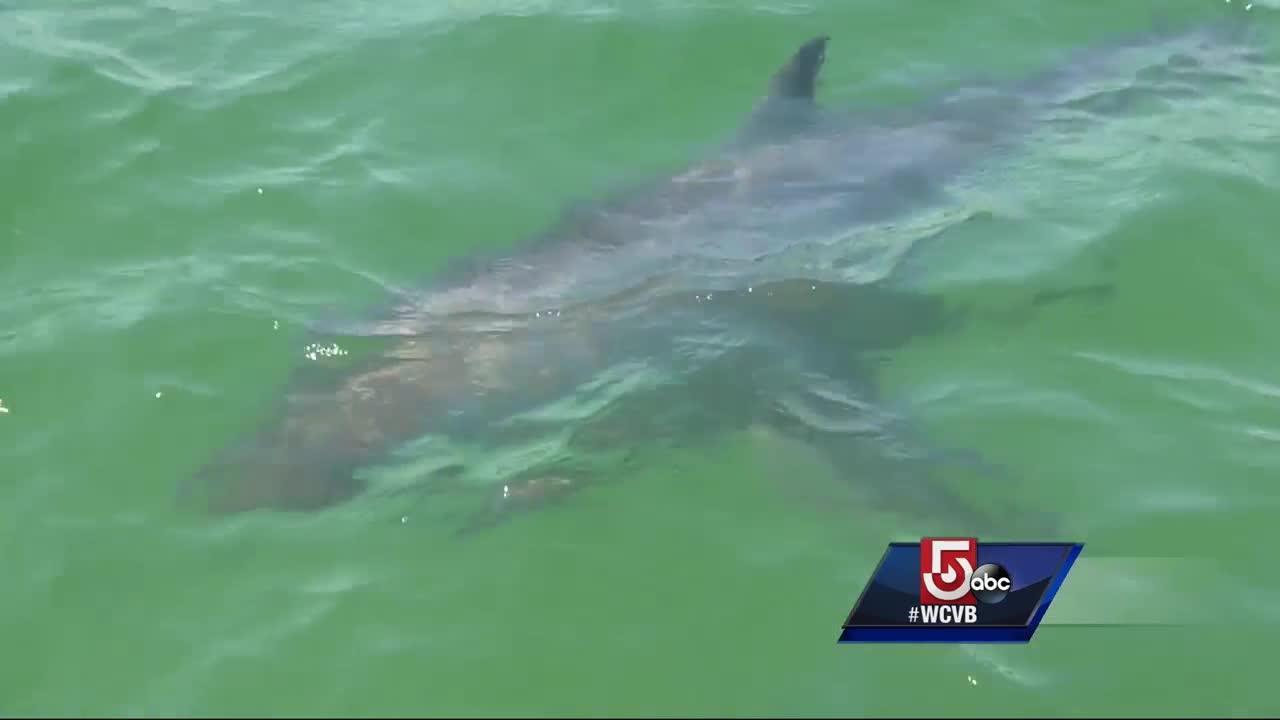 Shark forecast: Increasing population near Mass.