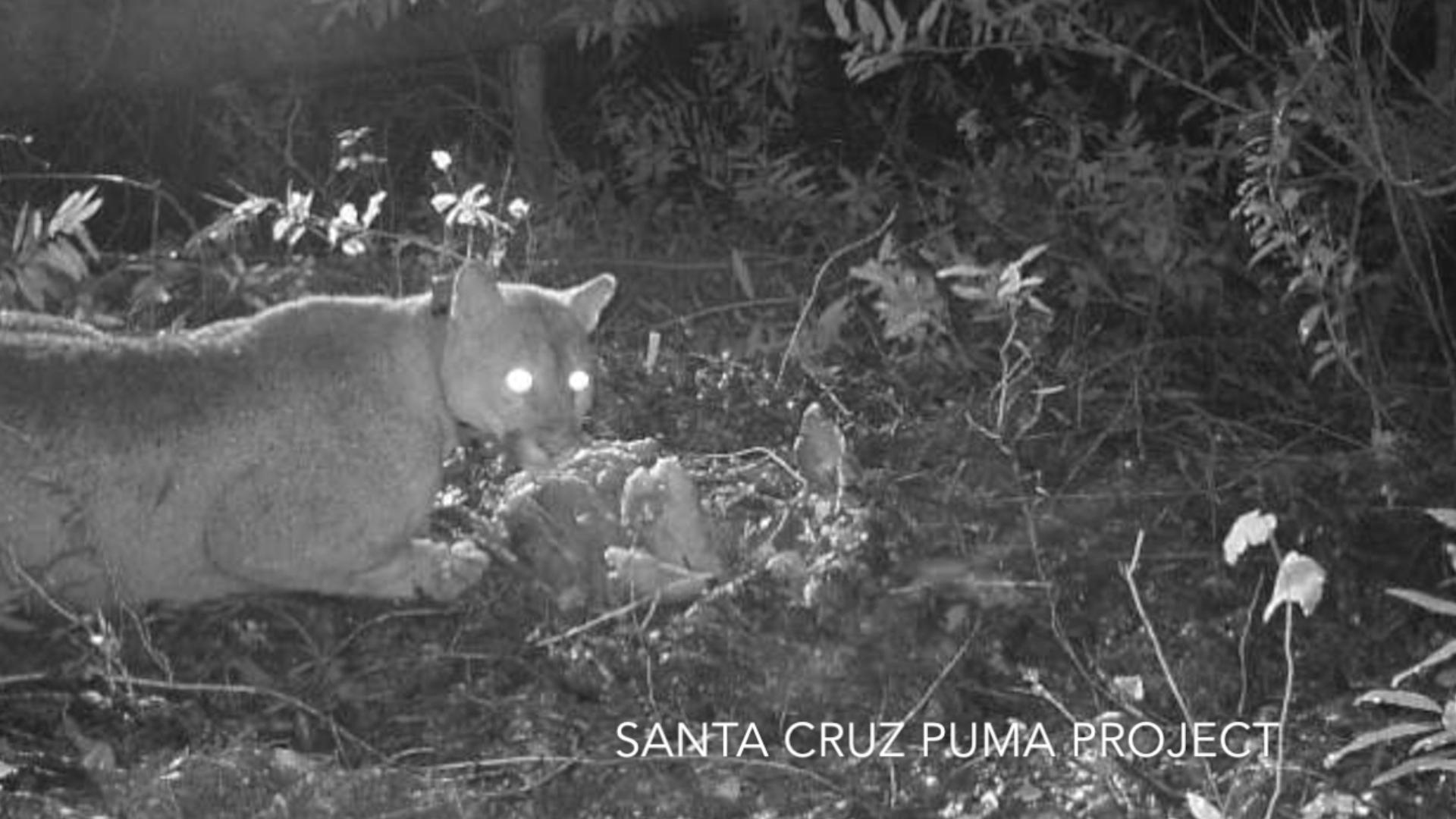 Bizarre Experiment Studies Pumas Reacting to Political Talk Shows