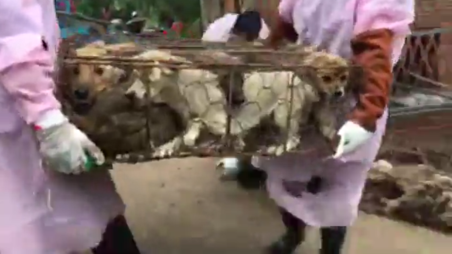 40 Cages of Dogs Reported Rescued from Canine Meat Festival in China