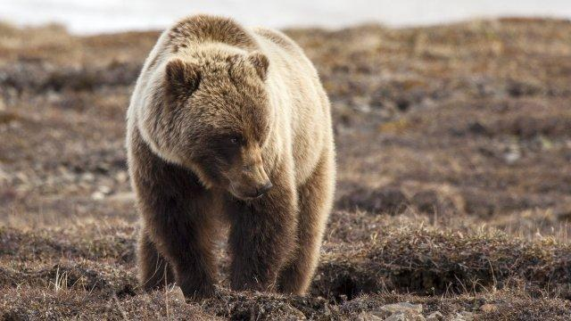 Grizzly Bears to Be Removed From Endangered Species List