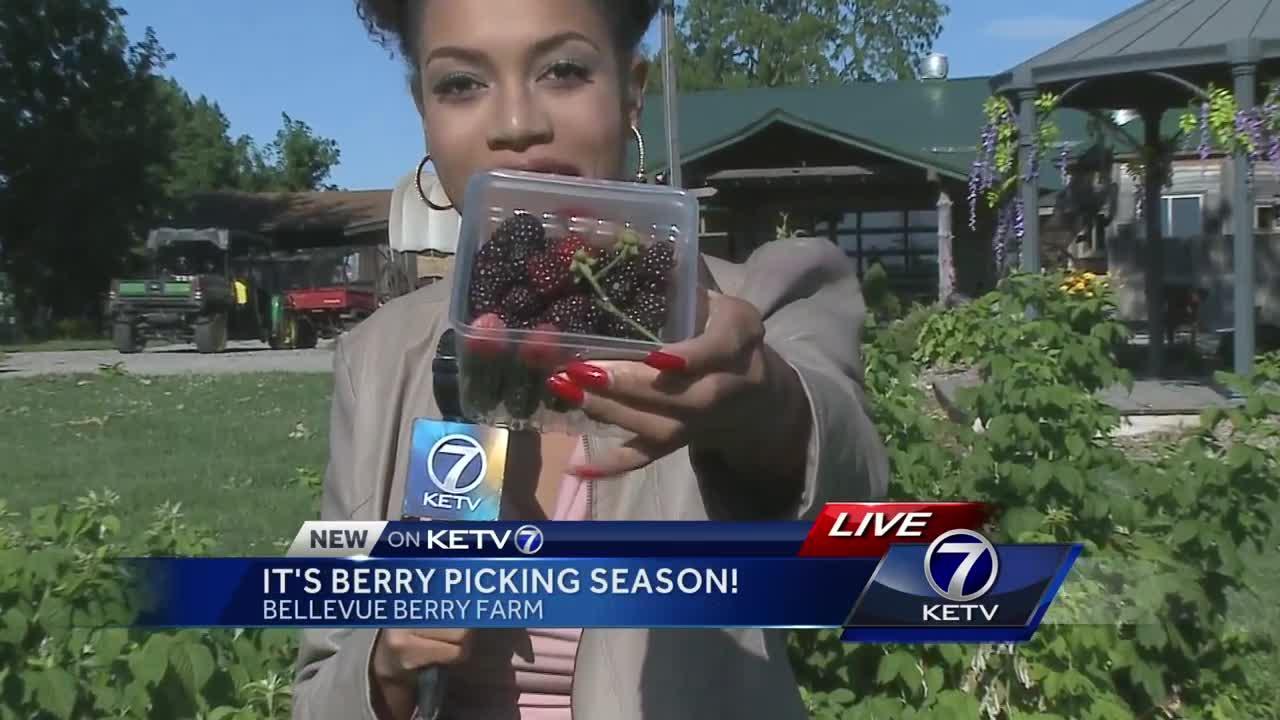 Berry picking season in Bellevue!