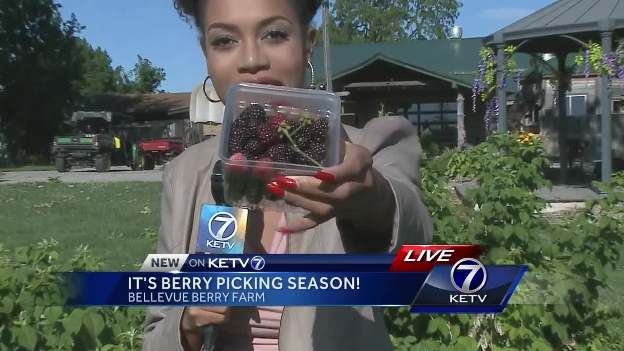 Berry picking season in Bellevue!