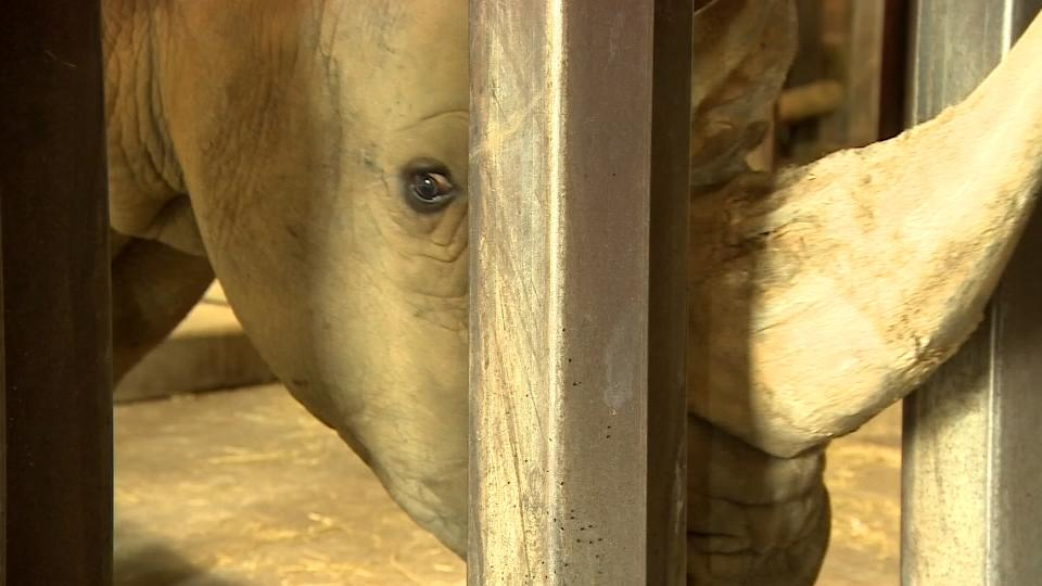 UK zoo donates white rhino eggs in IVF effort