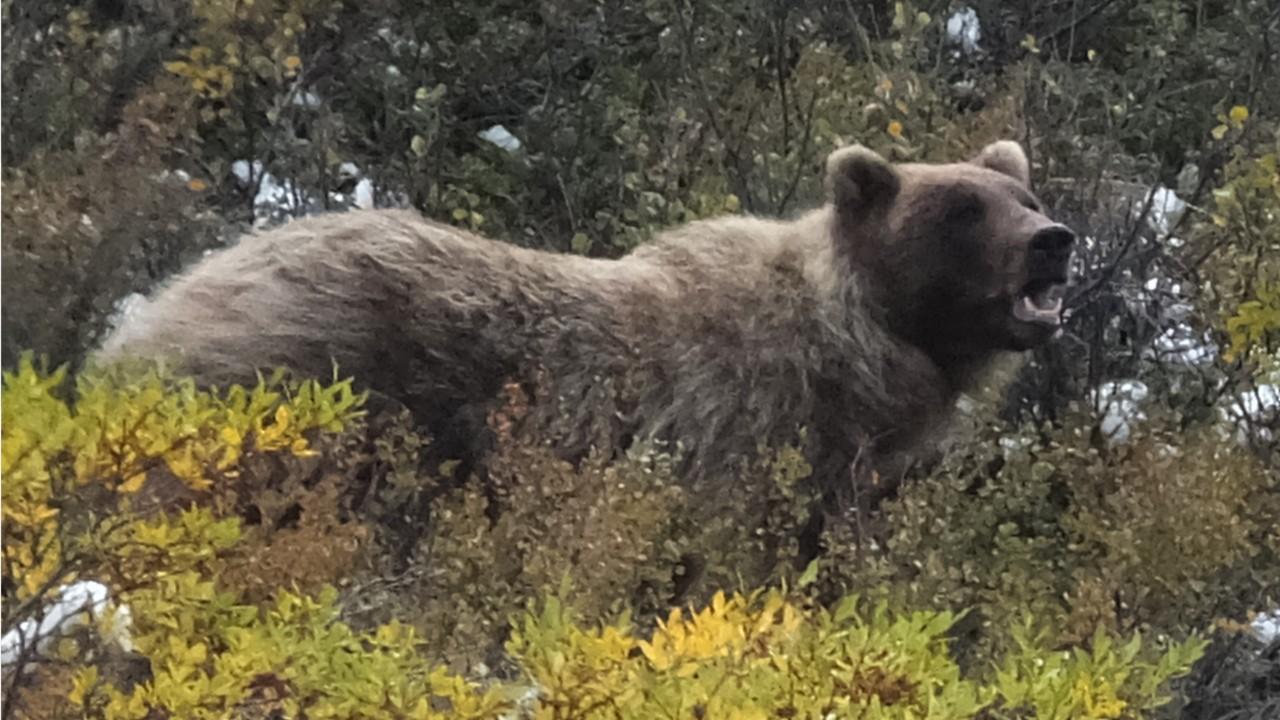 Hiker Followed by Bear, Cubs in Alaska