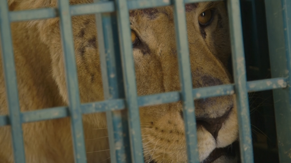 Lioness rescued from Aleppo zoo births cub