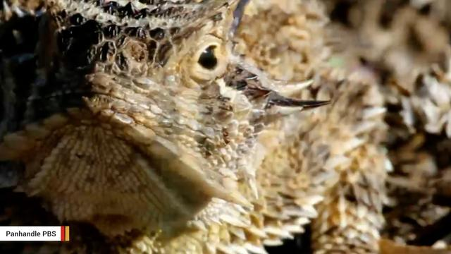 Texas Horned Lizard Eats Toxic Ants And Shoots Blood Out Of Its Eyes
