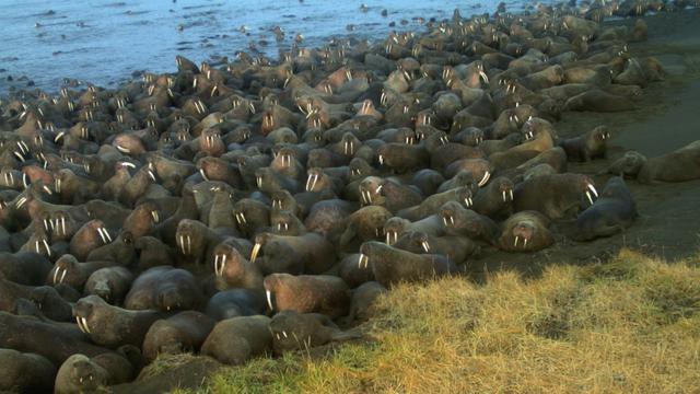 Walruses Gather On Alaska Beach Early This Year