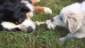 Bernese Mountain Dog effortlessly wins tug-of-war against puppy