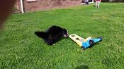 Collie Loves His Lawnmower