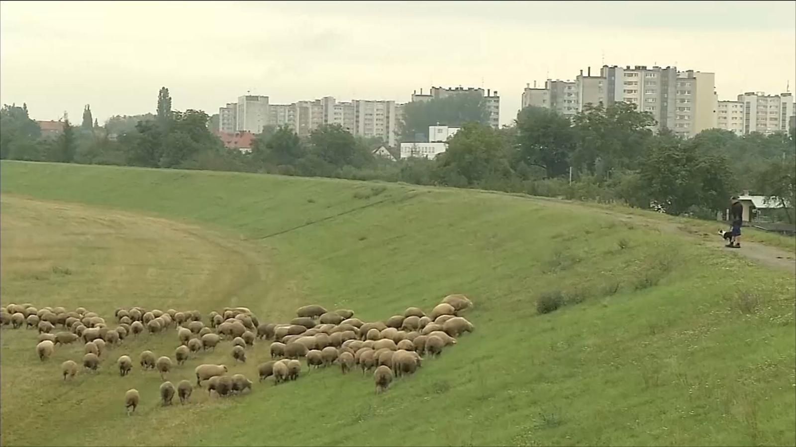 هذا الصباح- العودة للخراف للتخلص من العشب الأخضر