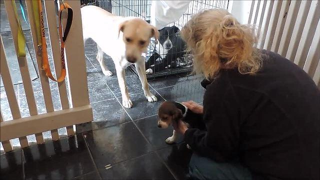 Beagle puppy teaches rescued dogs to trust humans