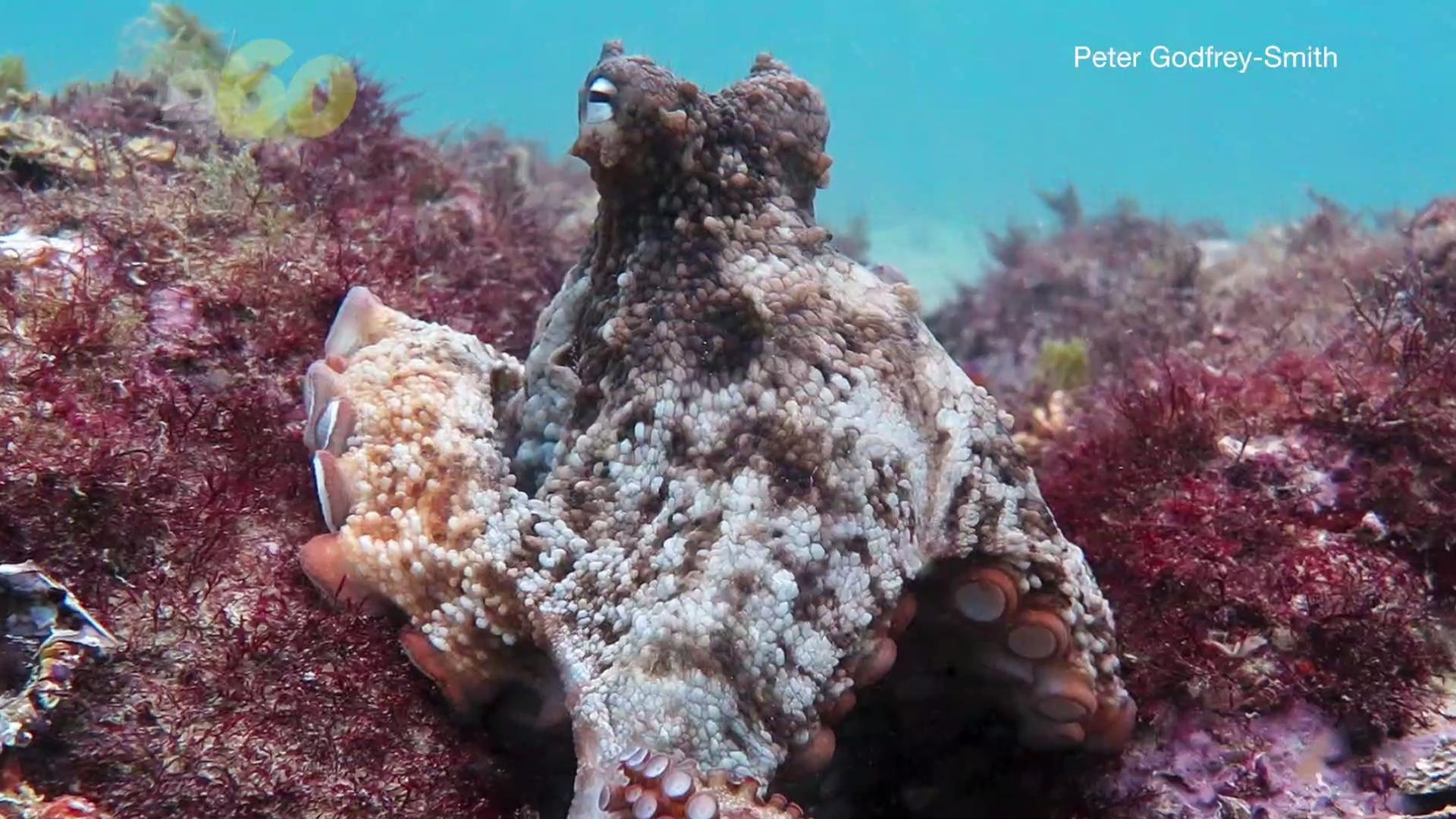 Underwater Octopus City Discovered by Biologists