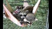 Lazy raccoons chill out on a hammock