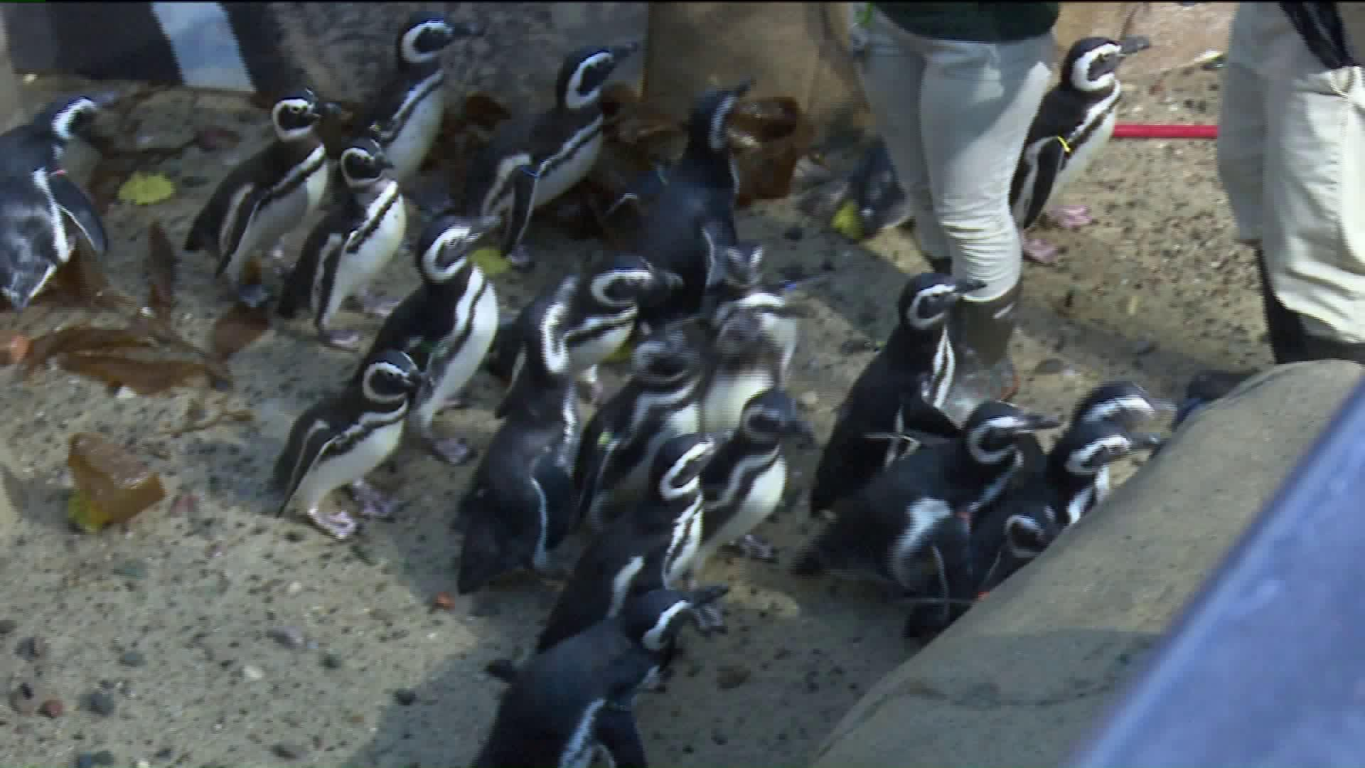 Penguins at Michigan Zoo Get Their Annual Check-Up