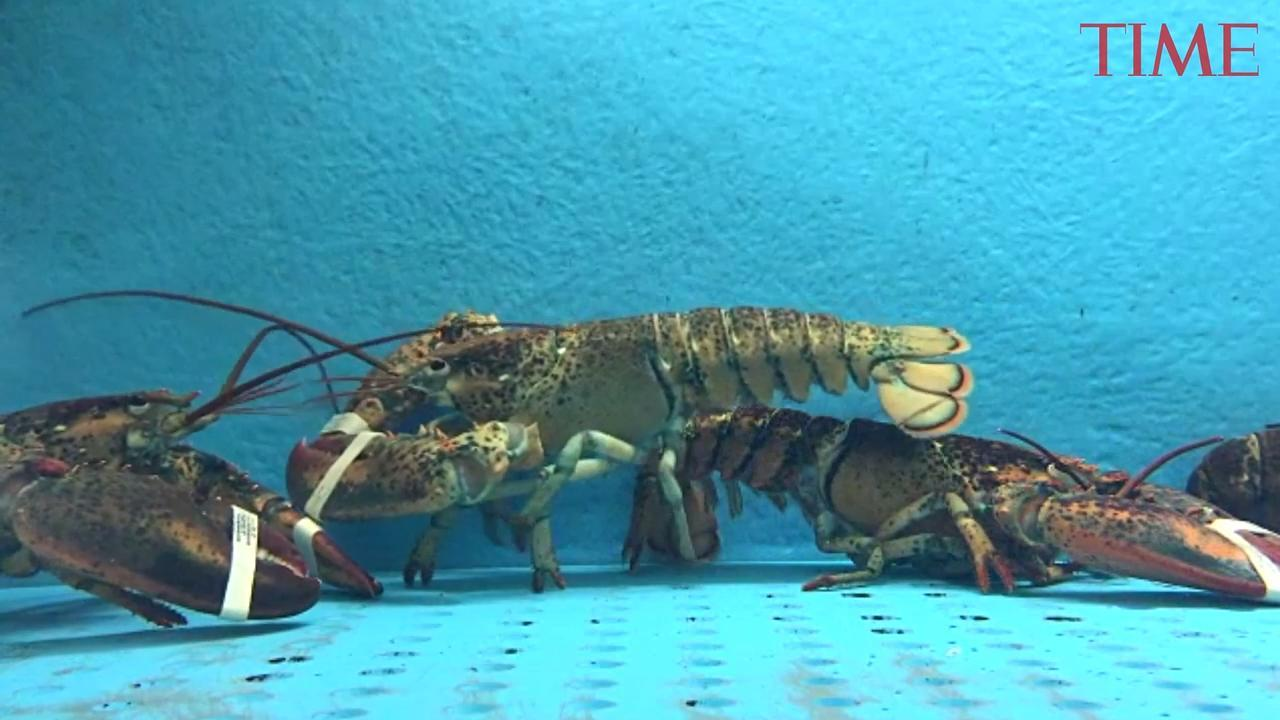 This Country Is Making It Illegal to Boil Live Lobsters