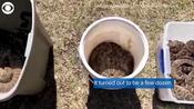 WEB EXTRA: 45 Rattlesnakes Under A House