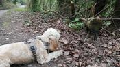 Brave little Cockapoo fights 'animal-log' in the forest