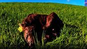 Newborn calf tries to sleep in adorably awkard position