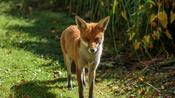 Fox caught red-handed peeing in man's cup of tea