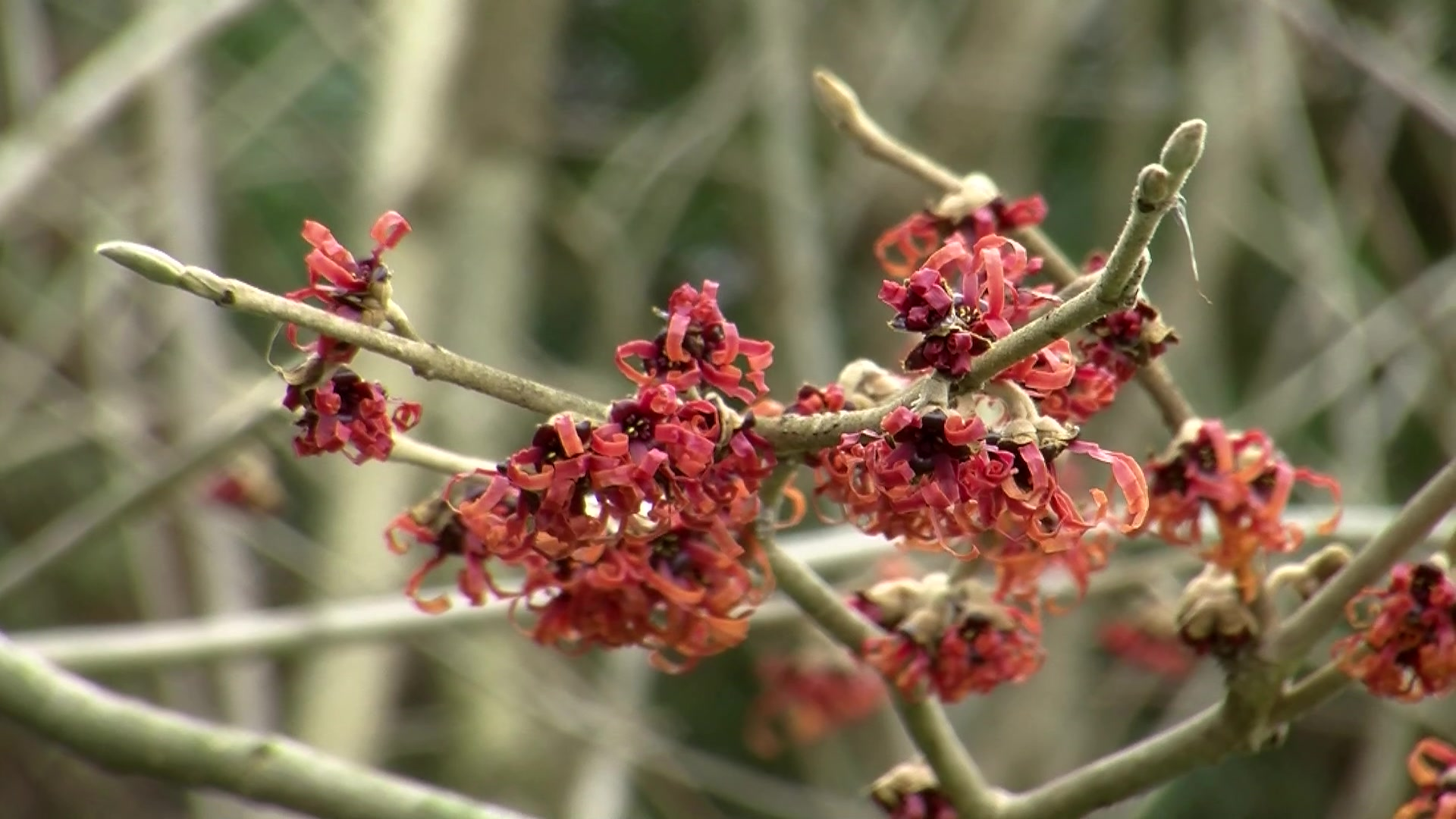 How to Grow Witch Hazel