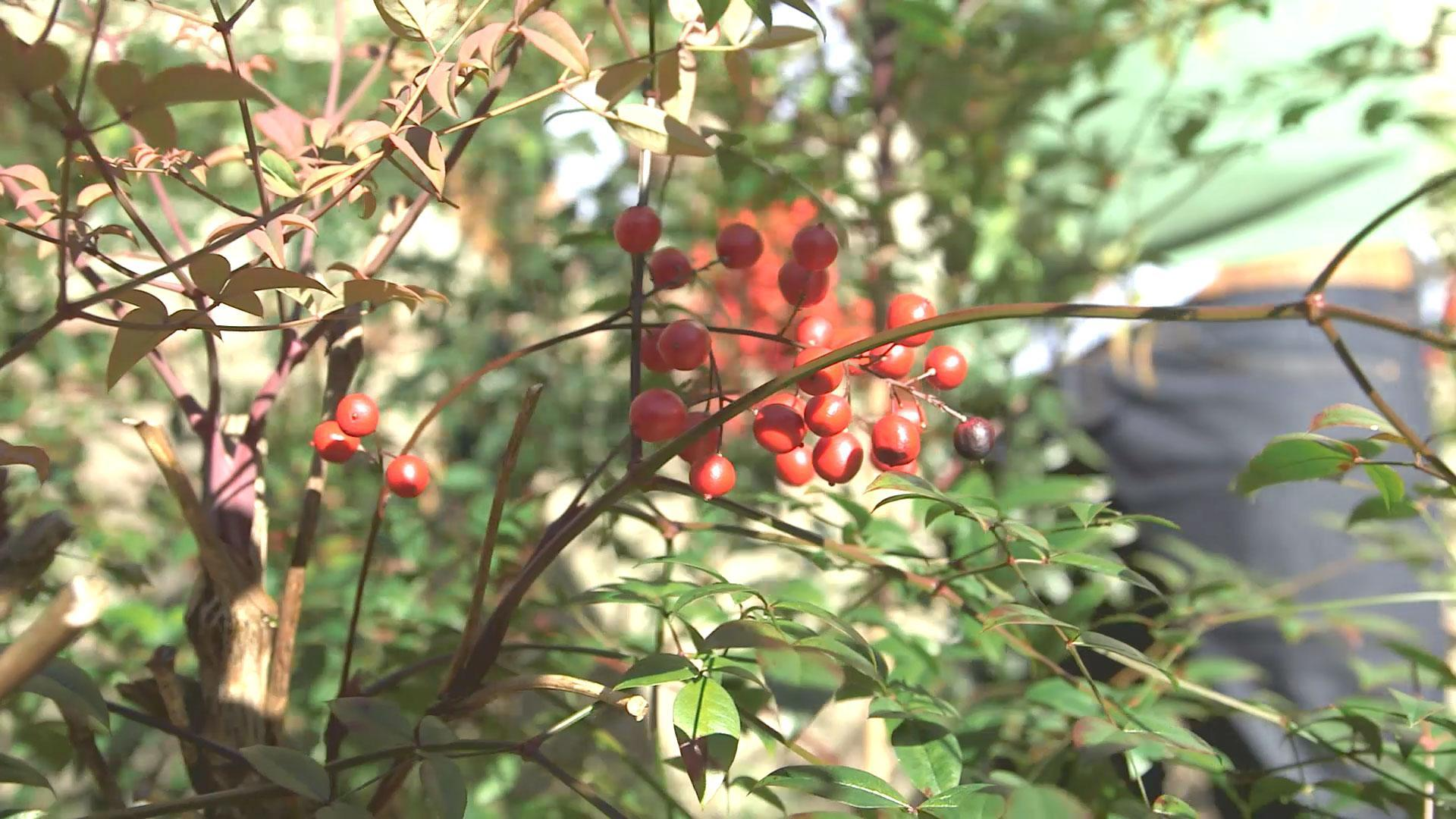 how to get rid of nandina