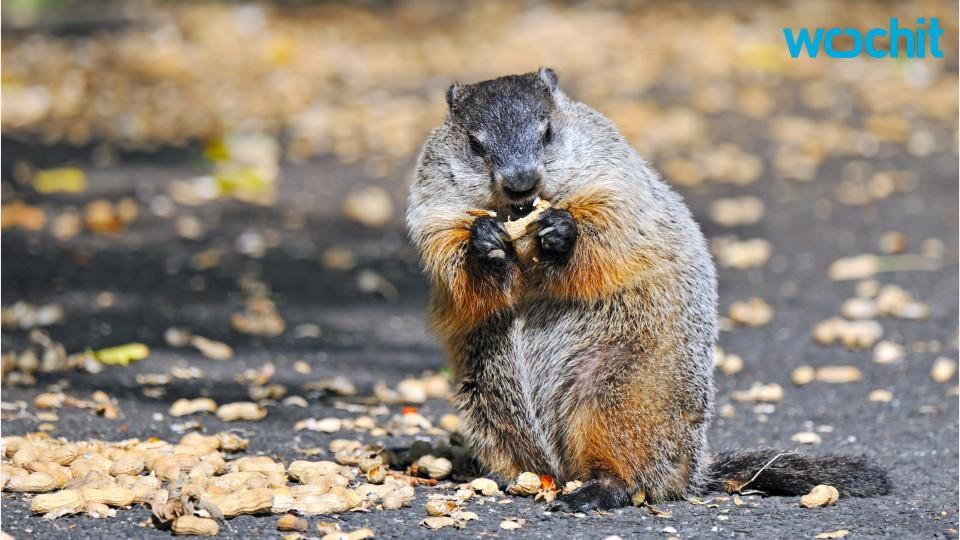 Groundhog sees his shadow, predicts six more weeks of ...