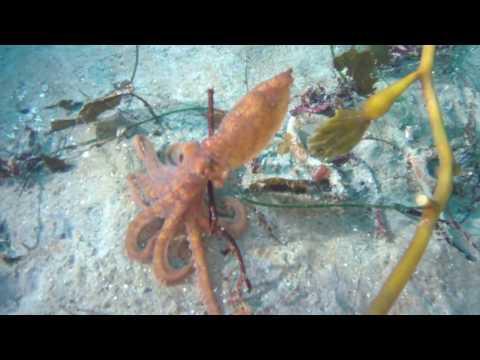 Watch: Octopus attacks spear fisherman - AOL UK Travel