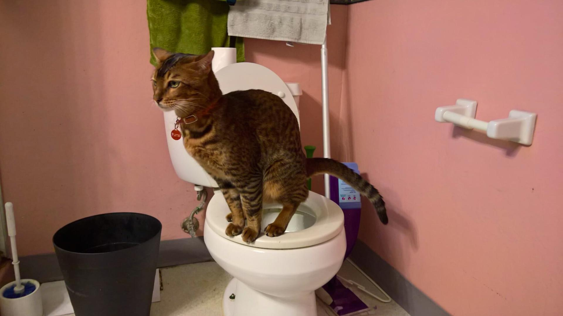 How Can You Teach Your Cat To Use The Toilet