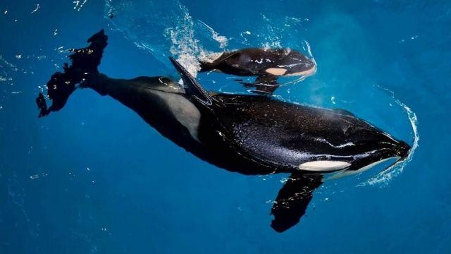 SeaWorld in Texas welcomes last orca to be born in its parks