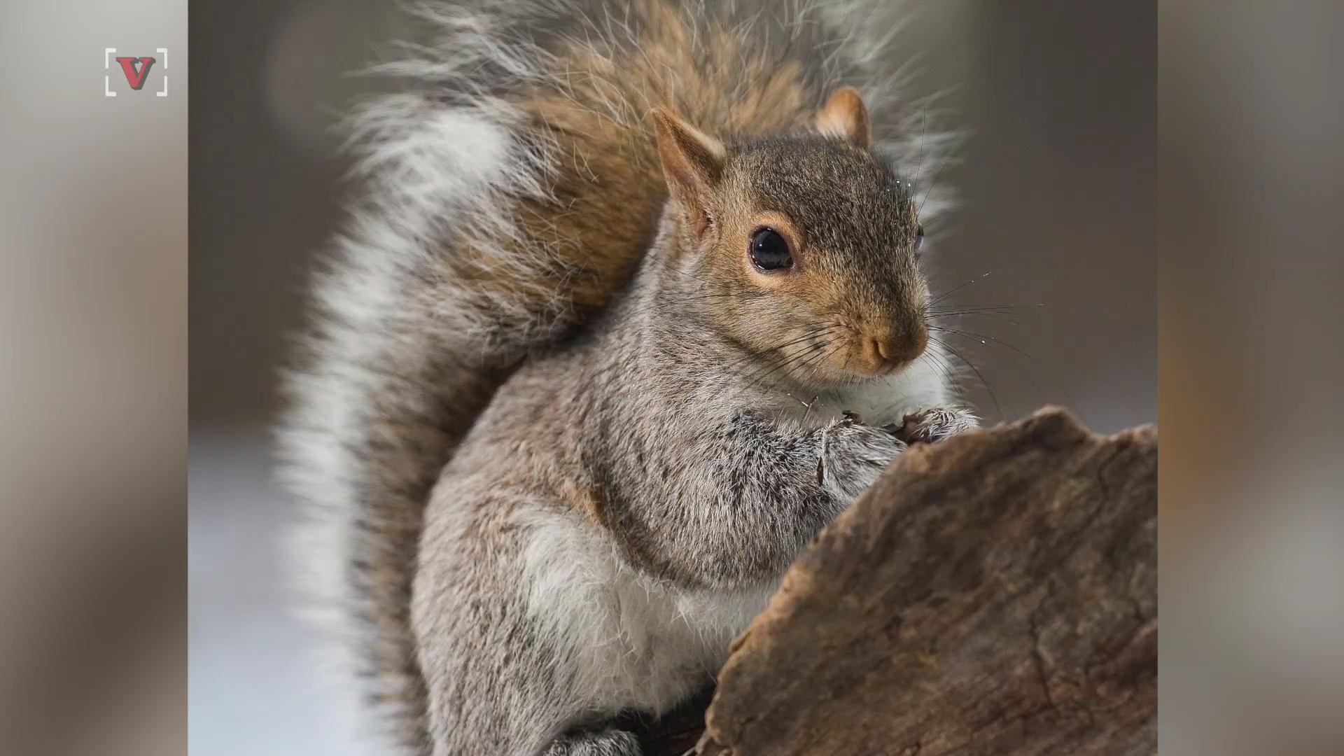 Secret Squirrel Protect Your Nuts Patch: Squirrels Could Hold The Secret To Preventing Brain Damage