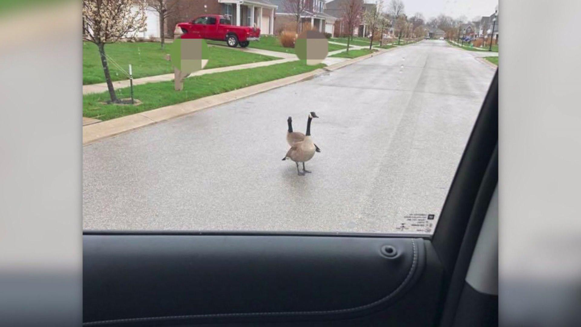 Family Terrorized by Geese Setting Up Nest in Front Yard