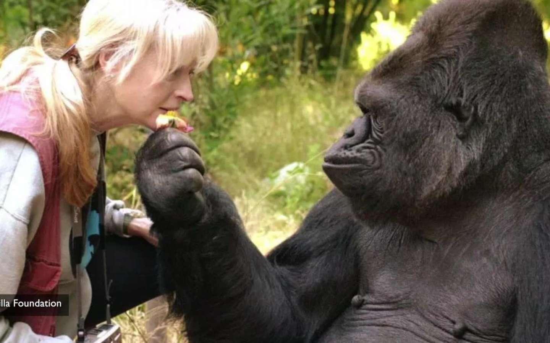 koko the amazing gorilla passed away at age 46