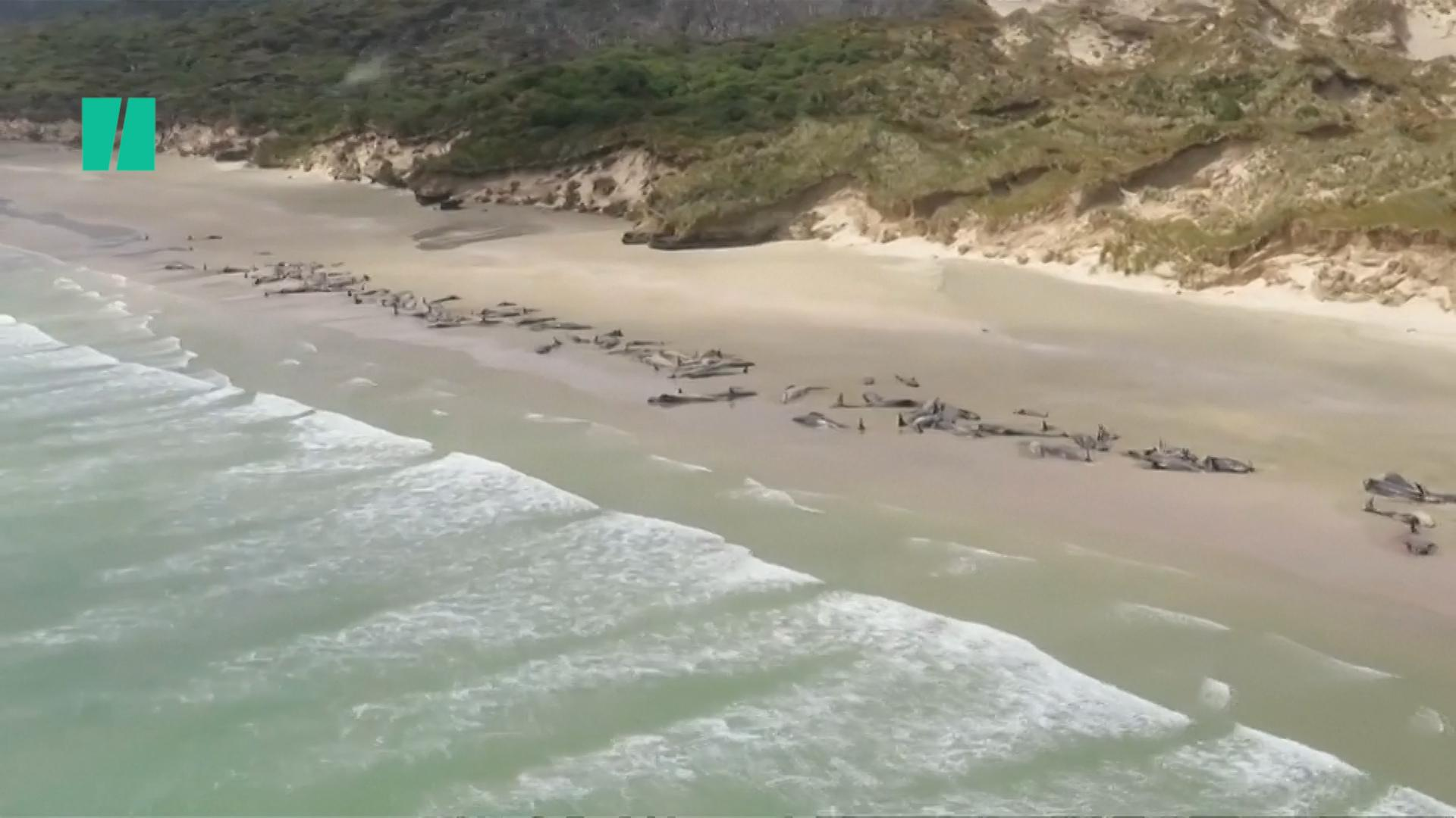 145 Pilot Whales Die After Stranding Themselves On New Zealand Beach