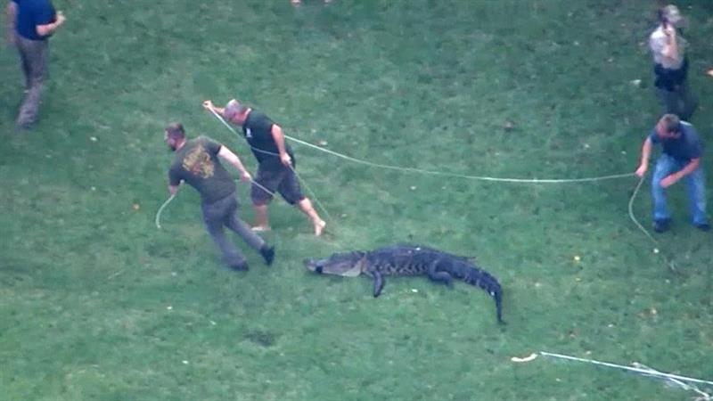 Weird News - Gator Caught Holding Sneaker After Biting Elderly Man
