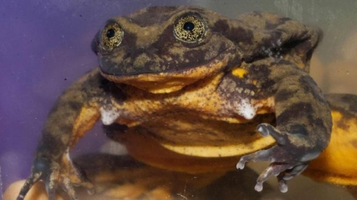 Romeo, The World's Loneliest Frog, May Have Finally Found His Juliet