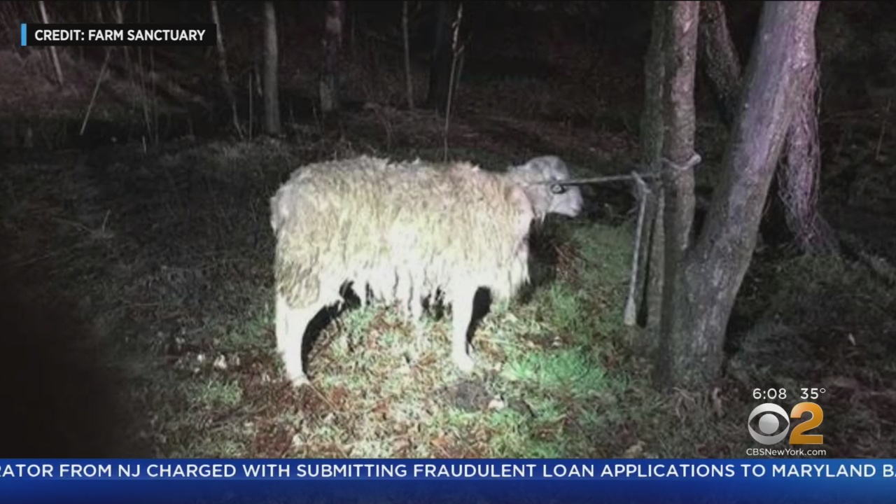 Sheep Rescued After Being Found Soaking Wet, Tied To NYC Park Tree