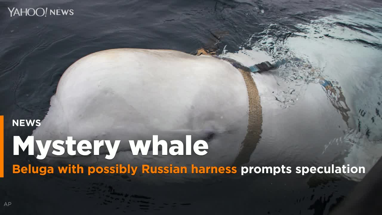 Beluga Playing Fetch In Viral Video Confirmed To Be So-Called 'Russian Spy Whale'