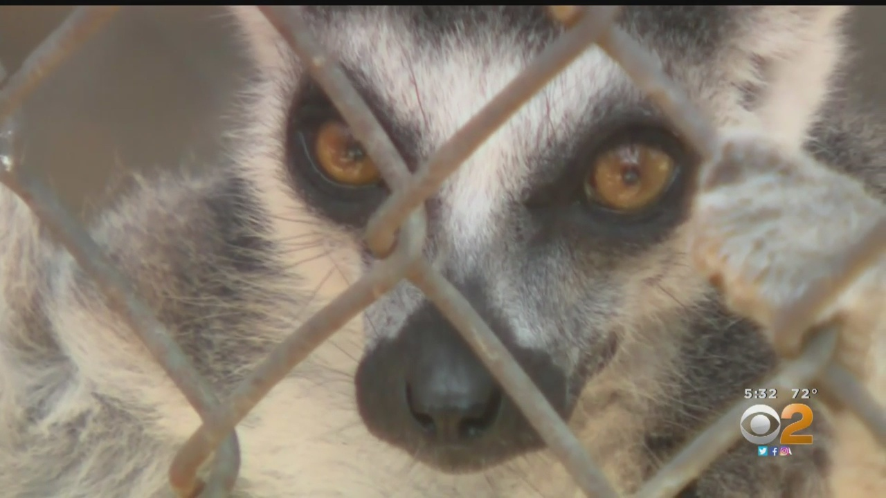 Man Agrees To Plead Guilty To Stealing Endangered Lemur From Zoo To Be His Pet