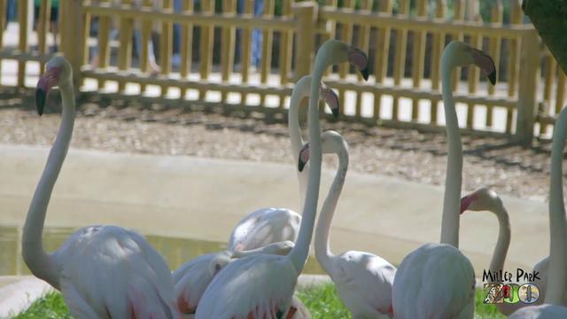 Illinois zoo euthanizes flamingo injured by rock child threw at exhibit