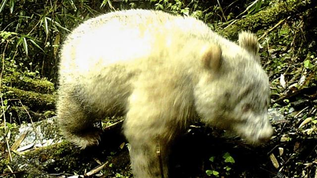 World's Rarest Panda Caught On Camera In China For 1st Time Ever