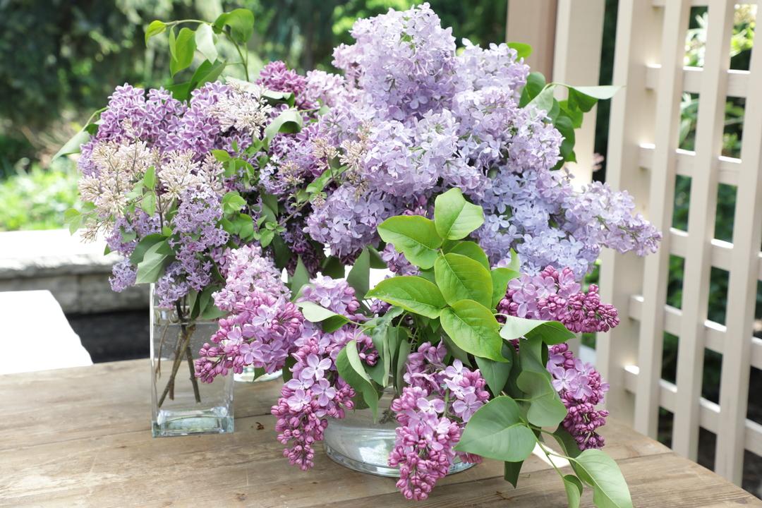 The Dirt: Lilacs