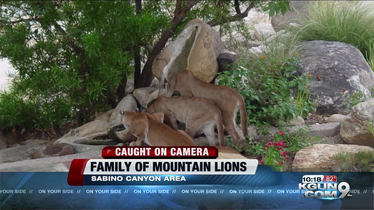 Suspected 'Mountain Lion' Caught On Video Turns Out To Be A Cat Named Cookie